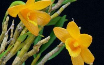 罗河石斛的药用价值与图片鉴别