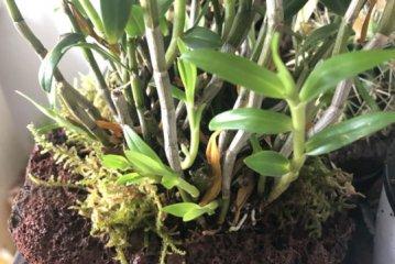 铁皮石斛盆栽室内养好或室外养好