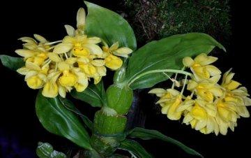 具槽石斛种植与图片鉴赏