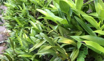 金钗石斛的功效与作用及吃法